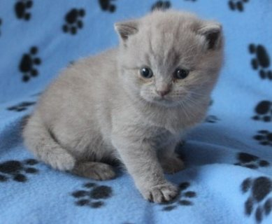 Stunning British Shorthair Kittens