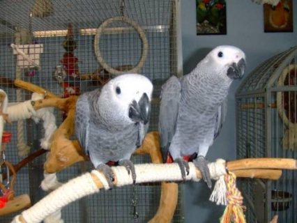 Good English Talking Congo Afrin Grey Parrots