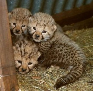 Cheetah cubs for sale