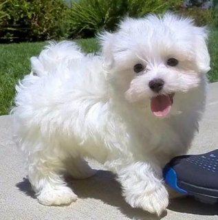 Stunning Genuine Maltese Puppies For Sale