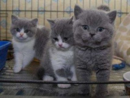 Beautiful British short hair kittens for sale.