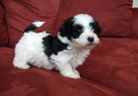 Havanese puppies for loving homes(For sale)