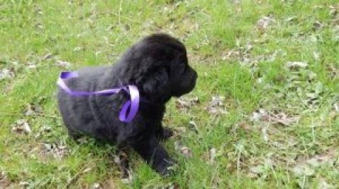 New Foundland puppies for sale
