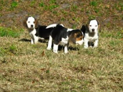 صور Beautiful Beagle Puppies Available For Sale 1