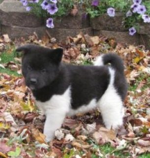 Outstanding Akita puppies for sale