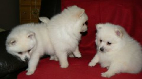Gorgeous Pomeranian Puppies looking for their forever homes, and