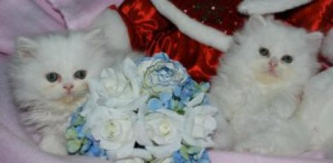 Quality Blue Eyed White Persian Kittens for sale