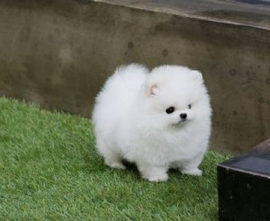 Adorable Micro Teacup Pomeranian puppies for sale.