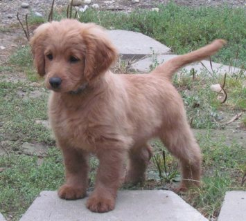 Akc registered Golden Retriever For Sale