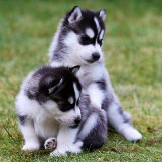 صور Home Raised Blue Eyed Siberian husky Puppies For Sale 1