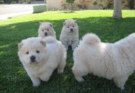 Pedigree White Chow Chow Puppies