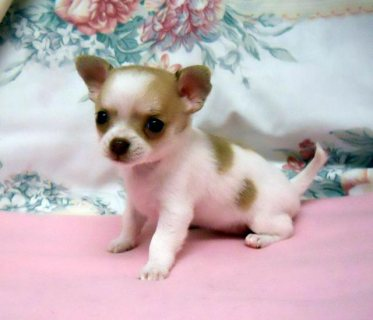 Pedigree Chihuahua Puppies For Sale *ready Now*