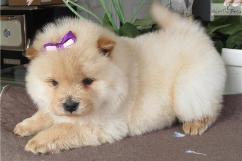 Beautiful Chow Chow Puppies For Sale