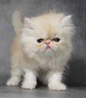 القطط الفارسية لطيف المتاحة حاليا