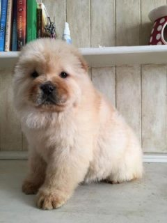 Pedigree Chow Chow Puppies