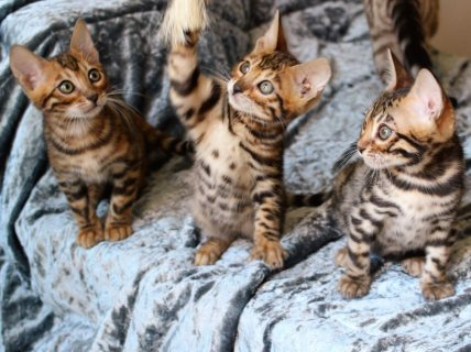 Cats Bengal For Rehoming