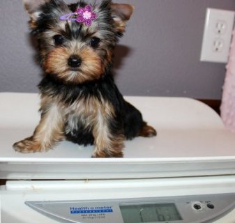 AKC Registered Yorkie Puppies for sale