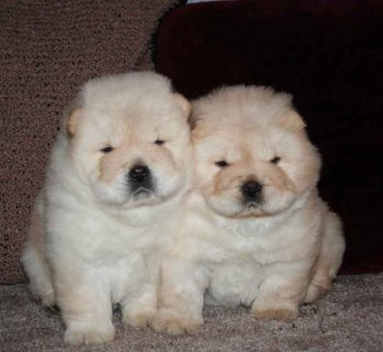 Cream Chow Chow Puppies
