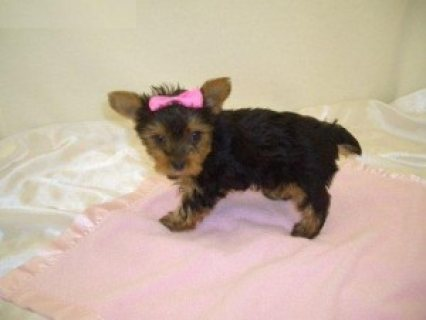 Fantastic Teacup Yorkie puppies available for sale