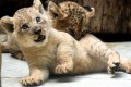 Clean quality baby lions for sale.