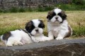 Shih Tzu Puppies Available For Sale