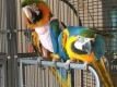 We have beautiful male and female Blue and Gold Macaw for sale