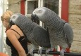 Loyal African Grey Parrots For Sale