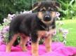 Outstanding German shepherd puppies for sale