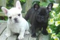 Home Raised French bulldog Puppies Ready for sale