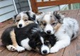 Adorable male and female Australian Shepherd Puppies for Sale