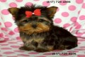 Te acup Yorkie  Cutest little teacup Yorkie for sale. For the la