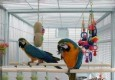 We are giving out a special set of Blue and Gold Macaws for sale