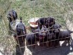 TEN WEEK OLD GERMAN SHEPPARD PUPPIES READY FOR A NEW HOME