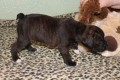Boxer Bobtail puppies For Sale