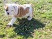 English Bulldog Puppies Available,,,