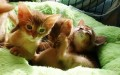 Gorgeous & Charming Pure Breed Abyssinian Kittens
