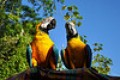 Healthy and well tamed Macaw parrots for new homes.