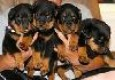 ROTTWEILER PUPPIES AVAILABLE FOR YOU