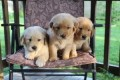 Two Adorable Retrievers for Sale....//.