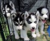 Adorable sivberian husky puppies for adoption