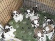 male and female Shih Tzu Puppiesready to go now