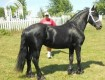 Adorable Gorgeous Friesian Horse for Rehoming