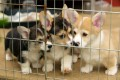 very loving pembroke welsh corgi puppies For sale
