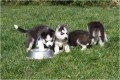 Purebred Siberian Husky Puppies available for sale