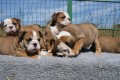 Well Trained English Bulldog Puppies For Sale