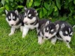 Lovely Blue Eyes Siberian Husky Puppies For Sale