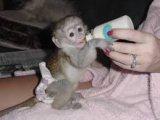 Adorable Capuchin Monkeys for sale