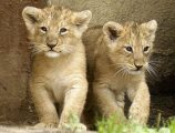 Outstanding baby lions for sale.