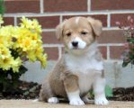 Looking For Welsh Corgi Pembroke