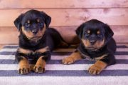 Healthy Rottweiler Puppies For Sale